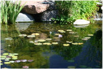 Apache Junction AZ pond by The Pond Gnome