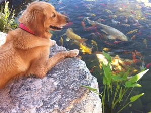 Pet friendly Phoenix Pond by The Pond Gnome